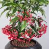 χριστουγεννιατικο φυτό